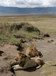Male lions resting at Ngorongoro Crater