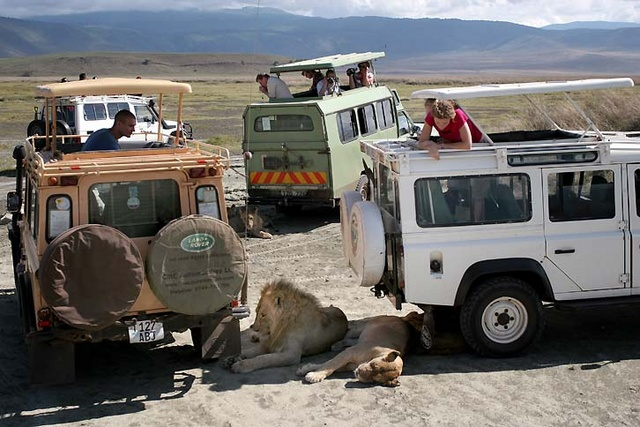 lions in shade of Tour cars at Ngorongoro Crater, Tanzania