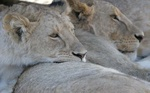 sleeping lions at Ngorongoro Crater