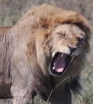 Lion yawning in the Serengeti National Park, Tanzania