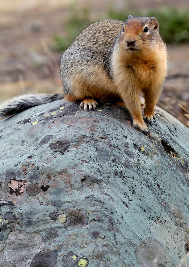 Columbia ground squirrel 2