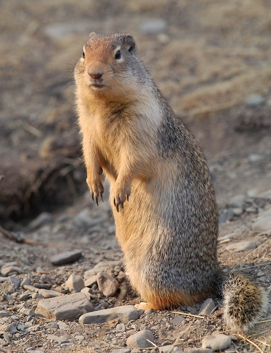 Columbian ground squirrel 1