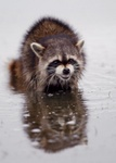 Raccoon in tidal pool