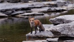 Red fox in creek 2