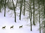 White tailed deer in snow