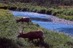 Elk in mountain medow