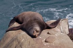 Sealion sleeping on rock