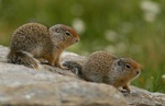 Columbian ground squirrel babies