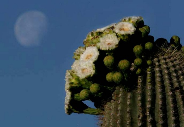 Saguaro and moon 2