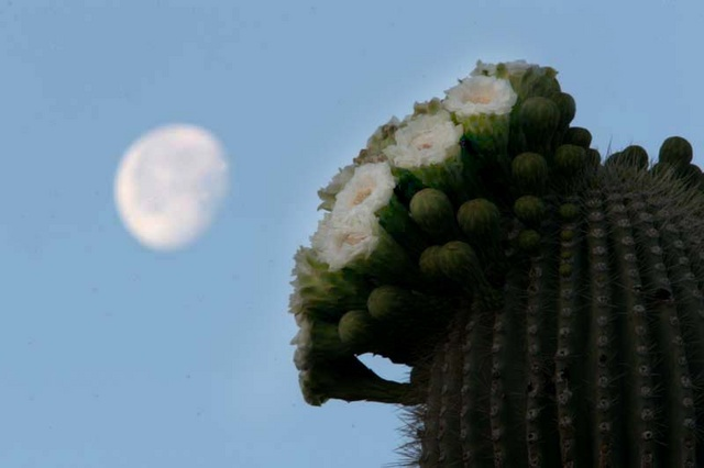 Saguaro flowering and moon