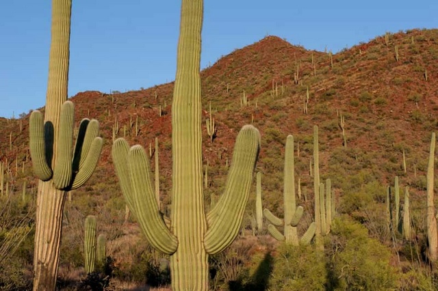 Saguaros in desert