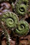 Christmas fern fiddleheads