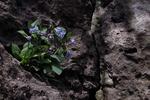 bluebells 1