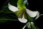 large flowered trillium 1