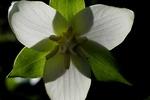 large flowered trillium 2